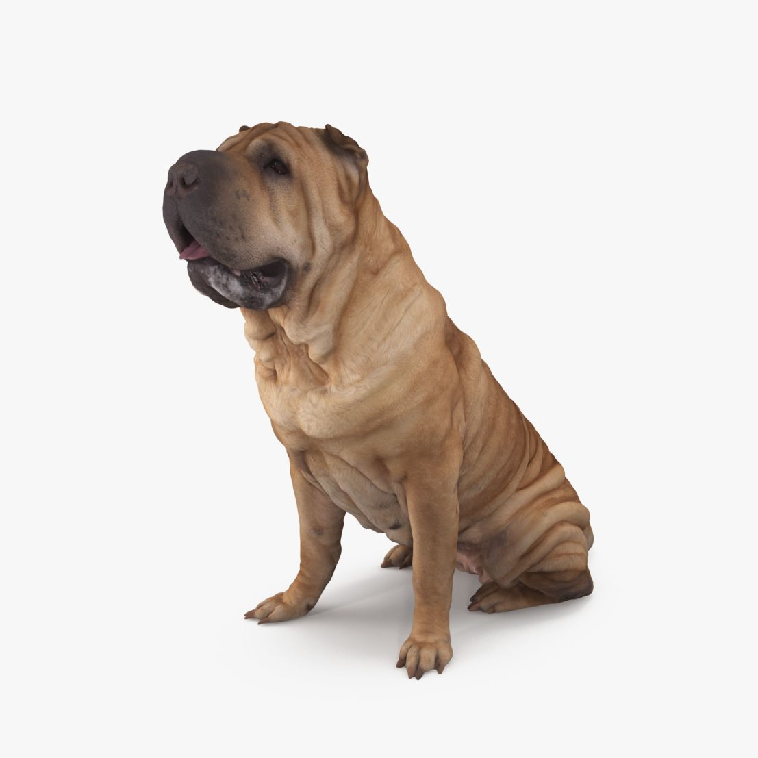 Shar Pei Sitting Dog 3D Model | 3DTree Scanning Studio