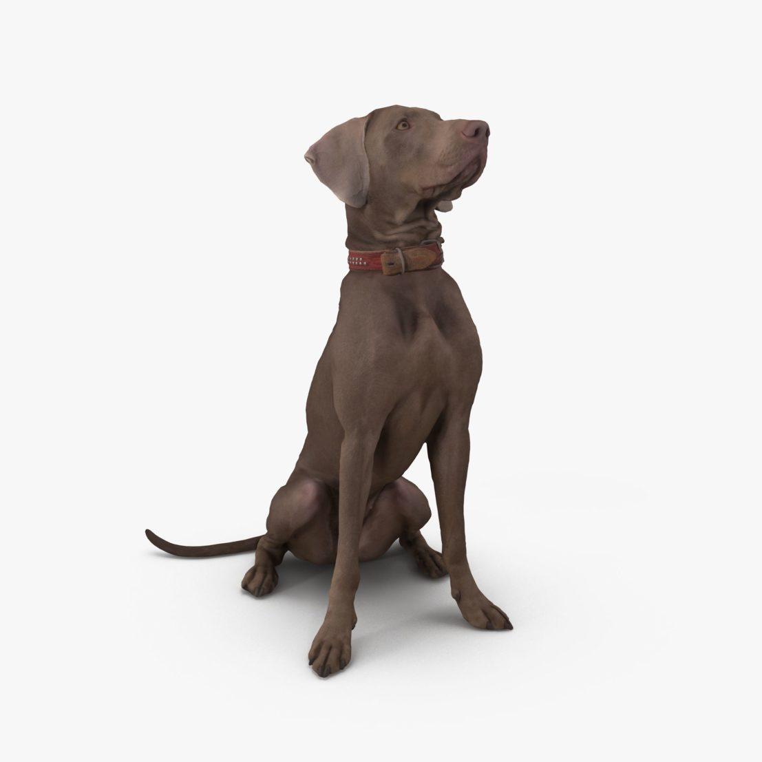 Weimaraner Sitting Dog 3D Model | 3DTree Scanning Studio