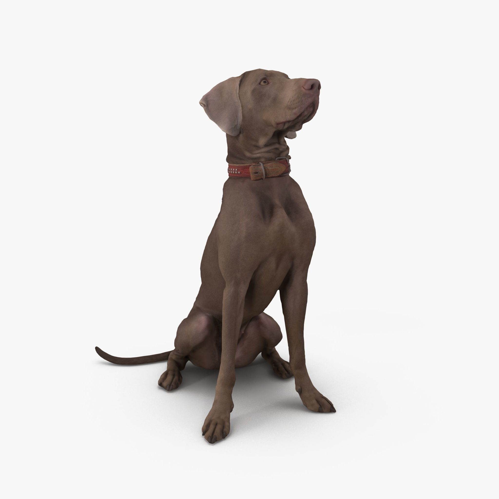 Weimaraner Sitting Dog 3D Model | 3DTree Scanning Studio
