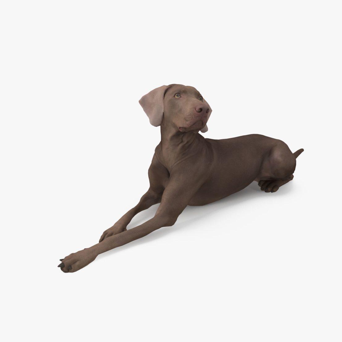 Weimaraner Lying Dog 3D Model | 3DTree Scanning Studio