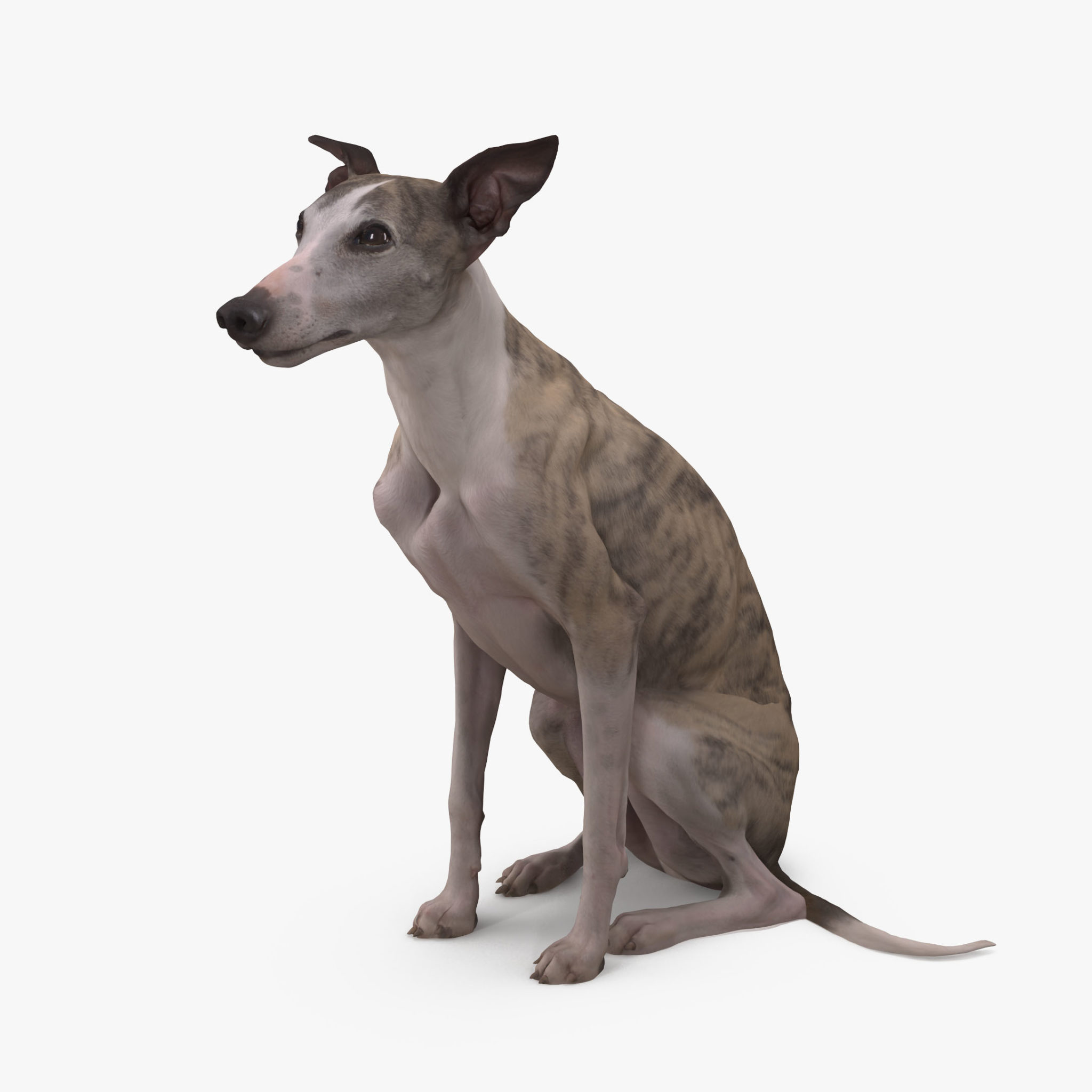 Whippet Dog Sitting 3D Model | 3DTree Scanning Studio