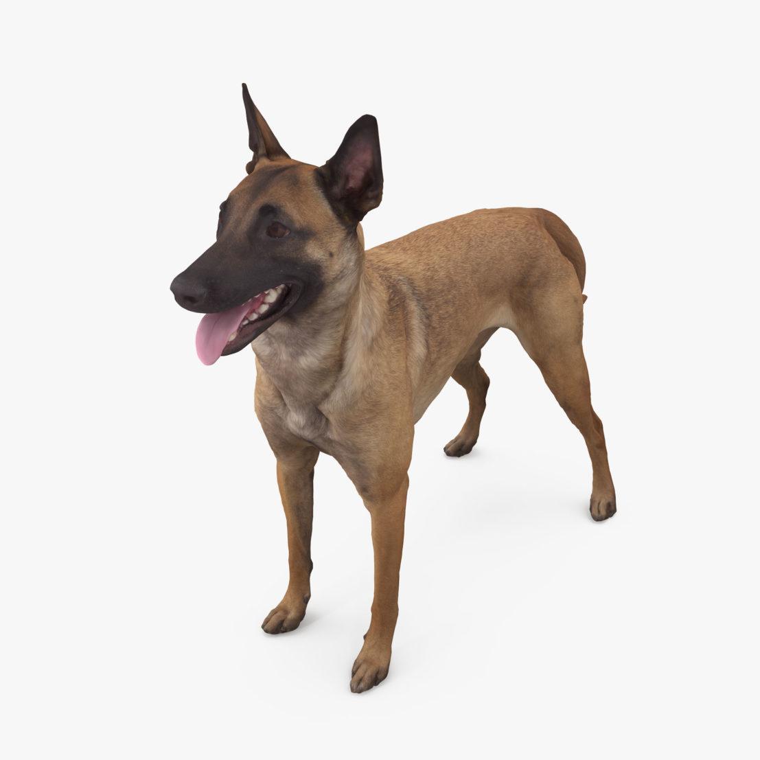 Malinois Dog Standing 3D Model | 3DTree Scanning Studio