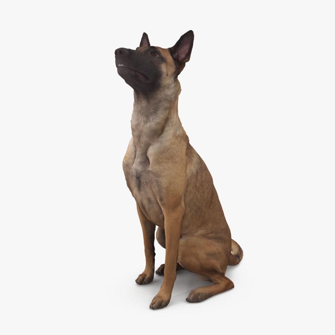 Malinois Dog Sitting 3D Model | 3DTree Scanning Studio