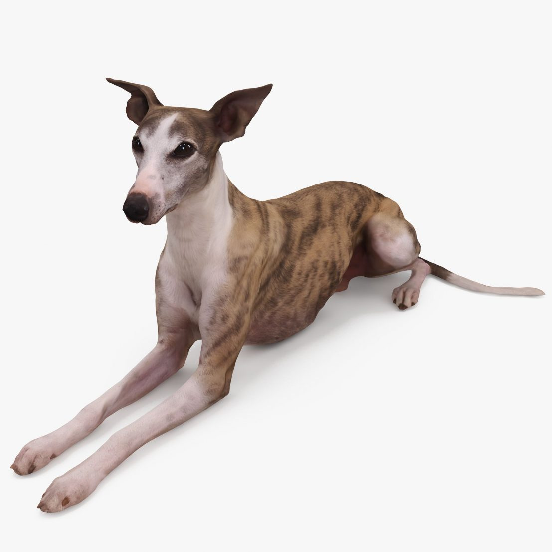 Whippet Dog Lying 3D Model | 3DTree Scanning Studio