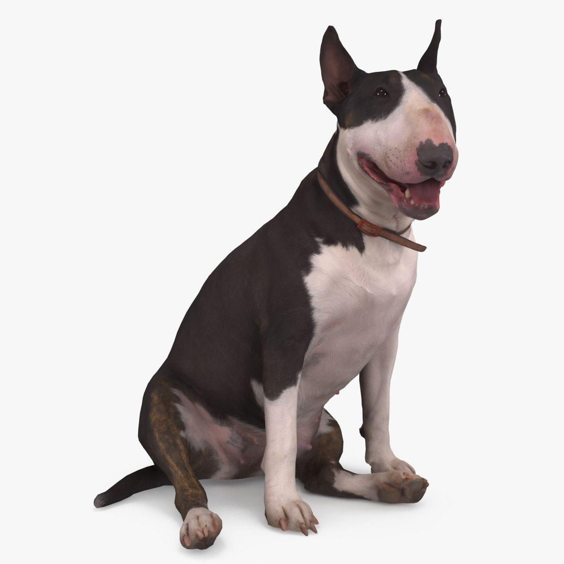 Bull Terrier Dog Sitting 3D Model | 3DTree Scanning Studio